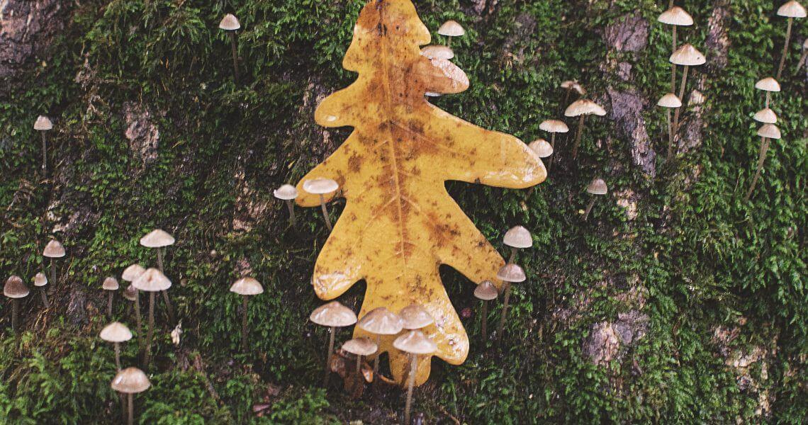 Oak leaf on tree trunk